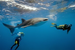 Whale-Shark-Scuba-Diving-Belize